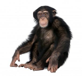 침팬지는 무슨 음악을 좋아할까?